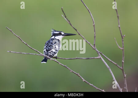 Pied Kingfisher, Ceryle rudis, perched on a branch with head in profile - Stock Image