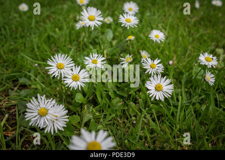 Daisy's growing and in bloom through a carpet of grass. - Stock Image