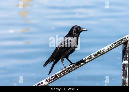 A glossy black Carrion Crow Corvus corone with bright alert eyes perched on the railings next to the river Avon in the city of Bath. - Stock Image