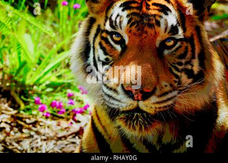 Close up view of Bengal tiger on Samsung 'The Wall' MicroLED TV, exhibit booth at CES, world's largest consumer electronic show, Las Vegas, NV, USA - Stock Image