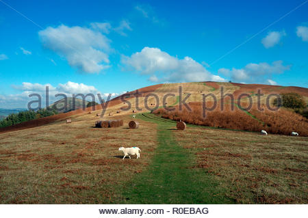 View of Hergest Ridge, the elongated hill which traverses the border between Herefordshire and Powys. Bales of cut bracken are visible. Wales, UK. - Stock Image