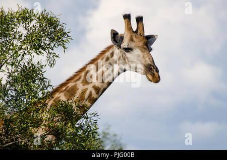 Giraffe in Manyeleti Game Reserve near Kruger National Park, South Africa. - Stock Image