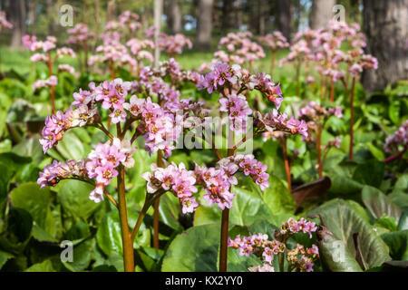 Bergenia cordifolia, flowers and leaves - Stock Image