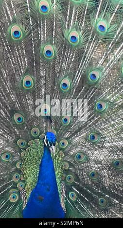 Close-up of a peacock, showing the beautiful plumage - Stock Image