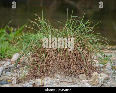 Tuft of grass - Stock Image