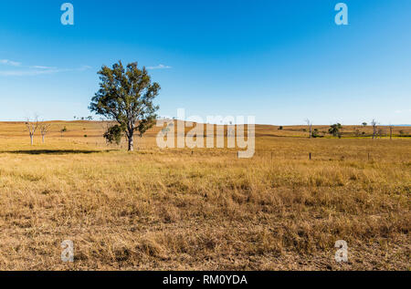 Lonely tree on a dry farm. - Stock Image