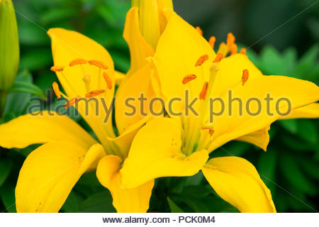Lilium 'Rio deJaneiro' Asiatic lily with vibrant yellow flowers. - Stock Image