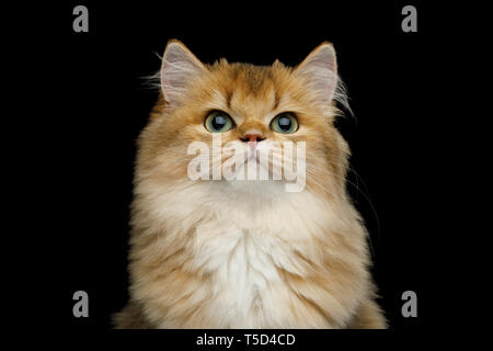 Portrait of British Red Cat with adorable green eyes on Isolated Black Background, front view - Stock Image