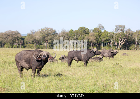 African buffalo or Cape buffalo Syncerus caffer three in a row heads up looking for danger maybe - Stock Image