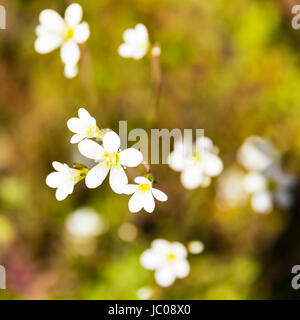 Meadow Saxifrage (Saxifraga granulata), on green roof garden, England, United Kingdom - Stock Image