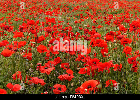 wild poppies landscape scene typical of those used for remembrance sunday with that tradition symbol the red poppy - Stock Image