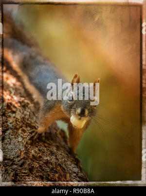 Composite of a Douglas squirrel on a tree trunk with a nut in it's mouth - Stock Image