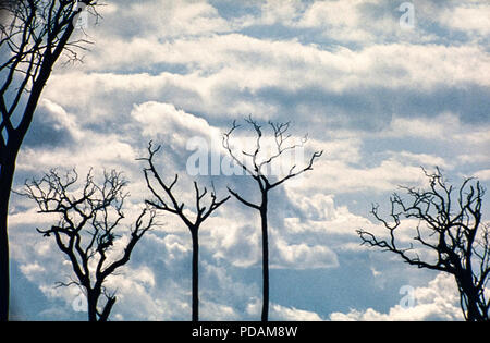 Burned trees in Amazon rainforest, land clearance for livestock. Acre State, Brazil. - Stock Image