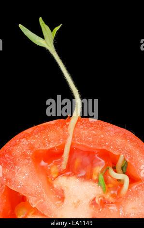 Tomato vivipary seeds germinated inside tomato - Stock Image