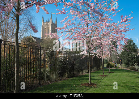 Spring UK England, view of young cherry trees in blossom with a cathedral tower visible in the background, Abbey Gardens, Bury St Edmunds, Suffolk, UK - Stock Image