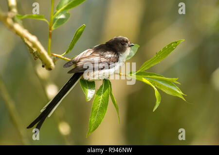 Long-tailed Tit (Aegithalus caudatus) perched on branch. Tipperary, Ireland - Stock Image