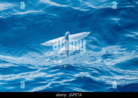 Flying Fish Species in mid air, scientific name unknown, several hundred miles off Mauritania, North Africa, Atlantic - Stock Image
