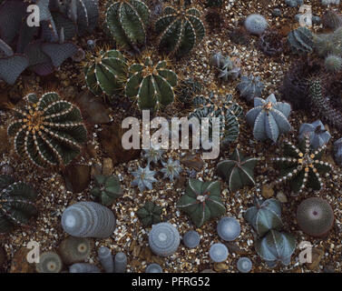 A Variety of Cacti in Gravel - Stock Image