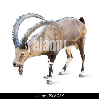 Alpine Ibex isolated on white background, Young alpine ibex male on the top of the mountain isolated on white background - Stock Image