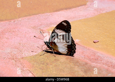 Danaid Eggfly, Mimic, or Diadem butterfly (Hypolimnas misippus : Nymphalidae), puddling, Namibia - Stock Image