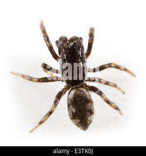 Male Salticus zebraneus spider, part of the family Salticidae -  Jumping spiders. Isolated on white background. - Stock Image