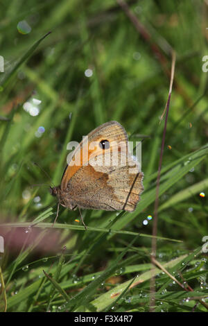 Meadow brown Maniola jurtina Female in long grass with wings closed Carmarthenshire June 2015 - Stock Image