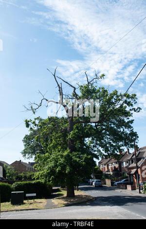 dangerous oak tree - council neglect - Buckinghamshire - Stock Image