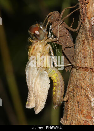 An emerging dragonfly. - Stock Image