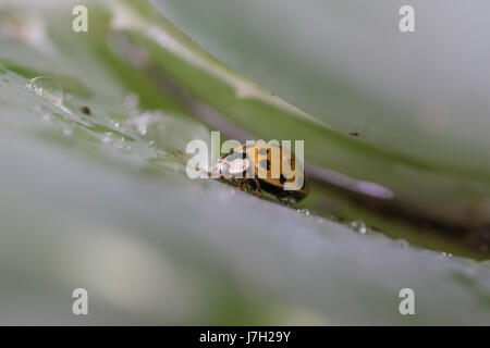 Lady bug on an aloe vera plant after some light rain - Stock Image