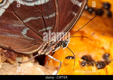 Blue Morpho Butterfly Feeding on Fruit - Stock Image