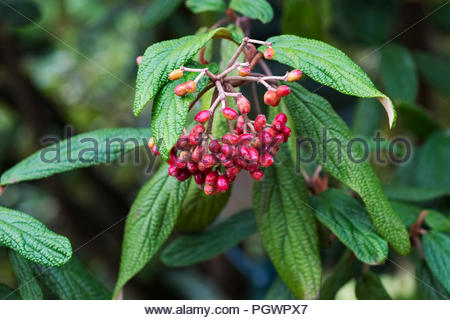 Berries of Viburnum rhytidophyllum, an evergreen shrub commonly called leatherleaf virbunum - Stock Image