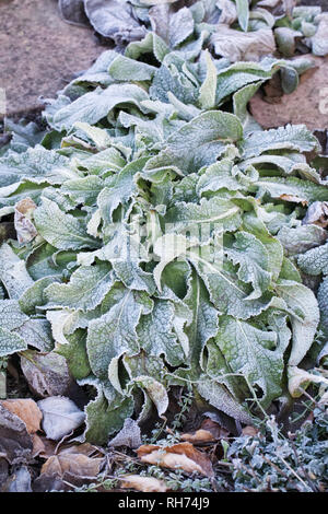 Frost covered Digitalis leaves. - Stock Image