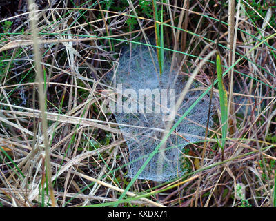 Cobweb or spider net with dew drops in old grass close up - Stock Image