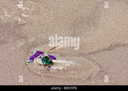 A storm-blown autumn sycamore leaf held captive by the sand on Scarborough's South Bay beach. - Stock Image