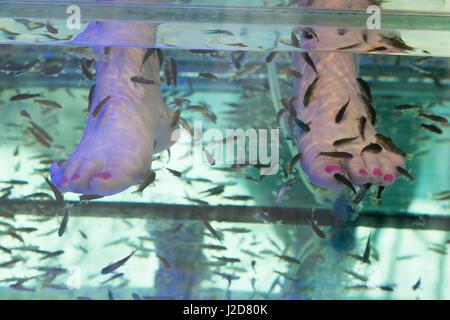 Europe, Czech Republic, Prague. Woman's feet in fish tank. Credit as: Wendy Kaveney / Jaynes Gallery / DanitaDelimont.com - Stock Image