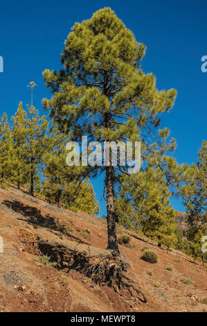 Majestic pine tree, a familiar tree in Tenerife forests, Canary Islands - Stock Image