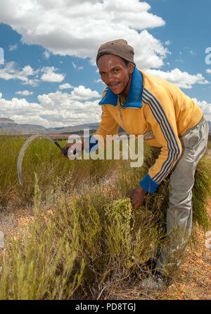 Farmhand harvesting rooibos tea plants with a sickle in the Cederberg Mountains in South Africa. - Stock Image