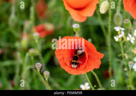 Bumblebee collecting nectar pollen from the stamen of a wild poppy flower, Enfield, London - Stock Image