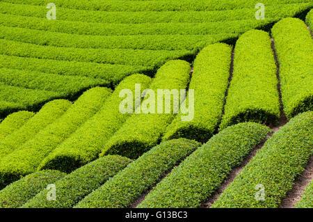 Growing green tea in Shizuoka, Japan - Stock Image