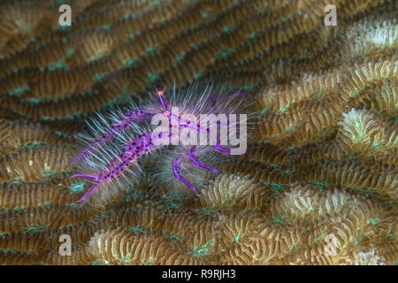 Close up image of a hairy squat lobster (Lauriea siagiani) as it scurries across coral seeking cover. - Stock Image