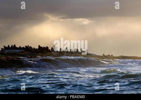 Cape fur seal (Arctocephalus pusillus) colony with sunrays through clouds, Seal Island, False Bay, South Africa, August 2015 - Stock Image