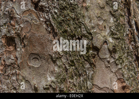 Close detail of the tree bark of a Horse-Chestnut / Aesculus hippocastanum tree. - Stock Image