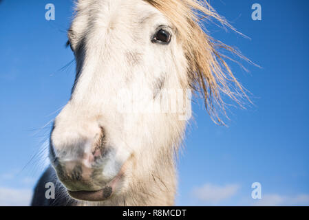 Close up portrait of white horse looking at camera - Stock Image