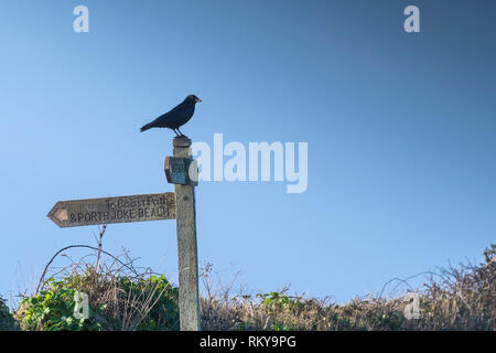 A Carrion Crow perched on a wooden signpost near the South West Coast Path on Pentire Point West in Cornwall. - Stock Image