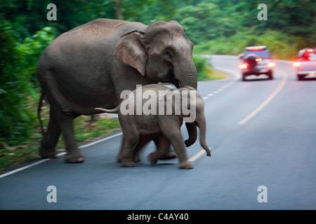 Thailand, Nakhon Ratchasima, Khao Yai.  Elephant mother and calf crossing a road in Khao Yai National Park. - Stock Image