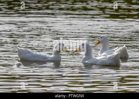 Four white heavy white ducks with one submerged below the water surface - Stock Image