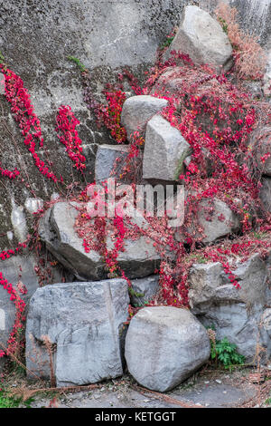 Autumn red leafs Virginia creeper on rocks - Stock Image