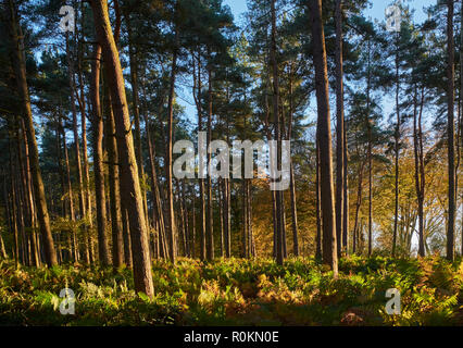 Pine trees and bracken on Leith Hill.  Coldharbour, Surrey, England. - Stock Image