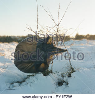 A black plastic waste binliner caught in growth, on a snow covered Rodborough Common in Gloucestershire, UK. - Stock Image
