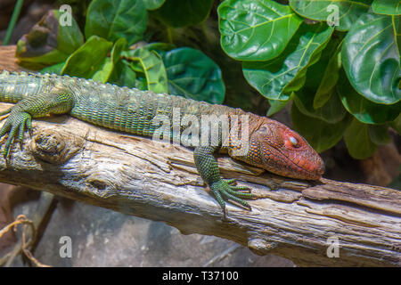Tropical lizard - Stock Image